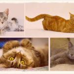 Сколько дней длится течка у кошек