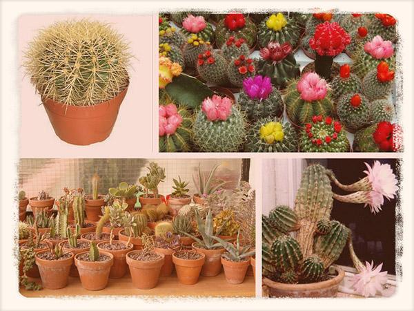 как ухаживать за кактусами в домашних условиях