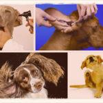 Почему собака трясет головой и чешет ухо