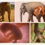 Сколько длится беременность у слона