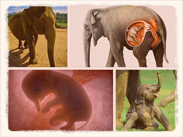 слоны во время беременности