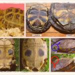 Как определить пол и возраст сухопутной черепахи