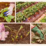 Как ухаживать за клубникой осенью