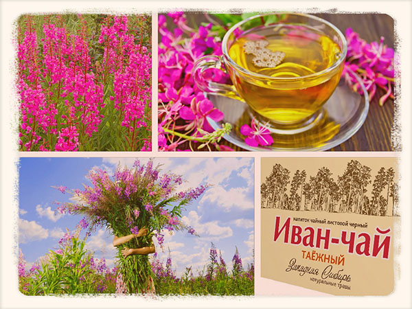 иван-чай в цветах и чае