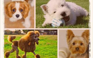 Породы собак, которые не линяют