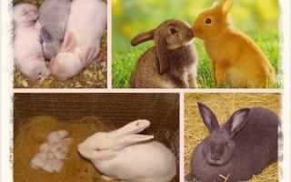 Беременность у кроликов: сколько длится и что делать
