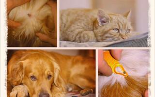 Как вытащить клеща у собаки или кошки