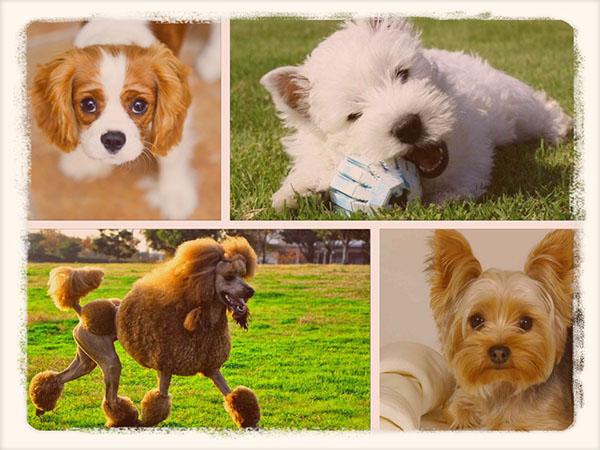 собаки которые не линяют и не пахнут