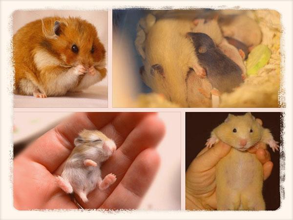 беременные хомячки