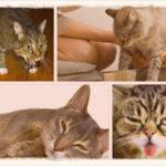 Как вызвать рвоту у кошки