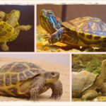 Виды сухопутных домашних черепах