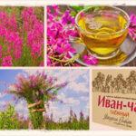 Иван-чай: полезные свойства и противопоказания для женщин