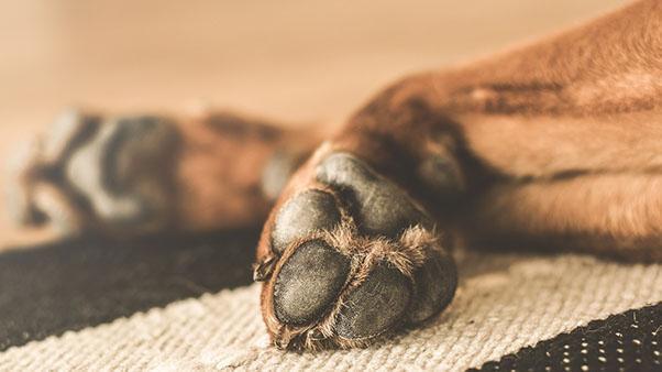 подушечка лапы собаки