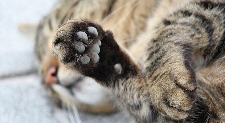 лапки котика