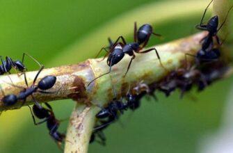 муравьи на ветке